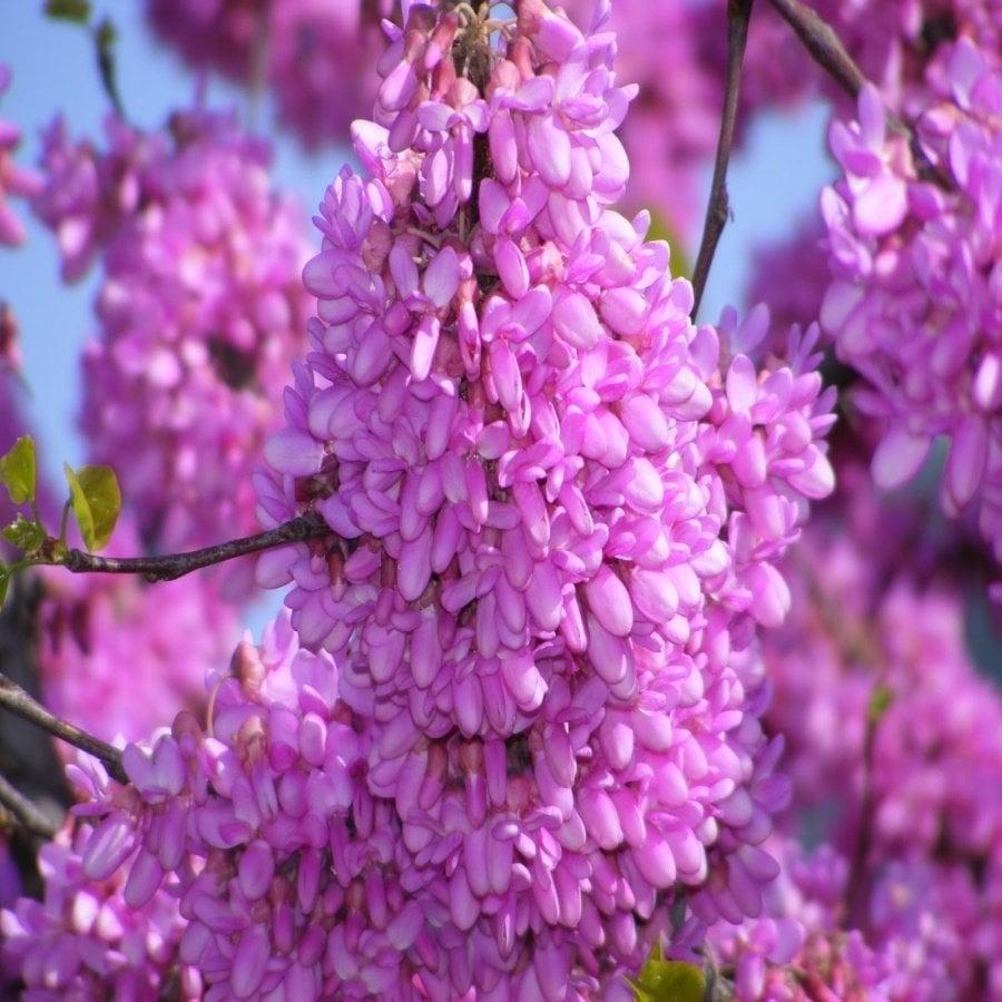 Tüplü Pembe Çiçekli Erguvan Ağacı Fidanı Satın Al
