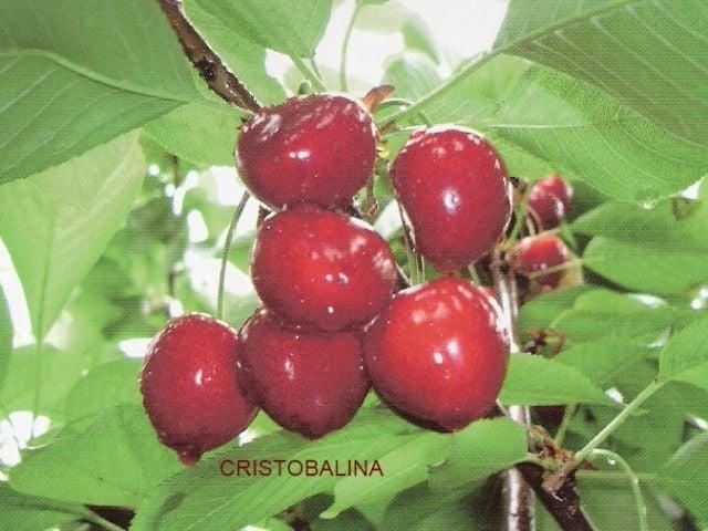 Cereza Cristobalina, variedad de cerezo Cristobalina, cereza de maduración extra temprana